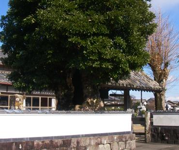 お寺の境内の木
