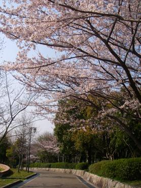 寝屋川公園中央広場桜並木